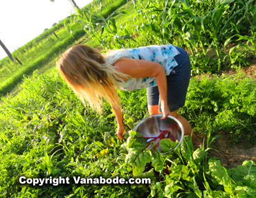 my wife Kelly picks vegetables at a farm on our road trip
