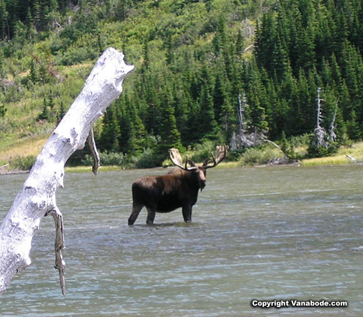 Picture of moose in water at Glacier National Park