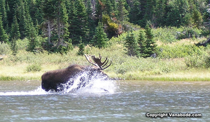 Picture of moose running at Glacier National Park