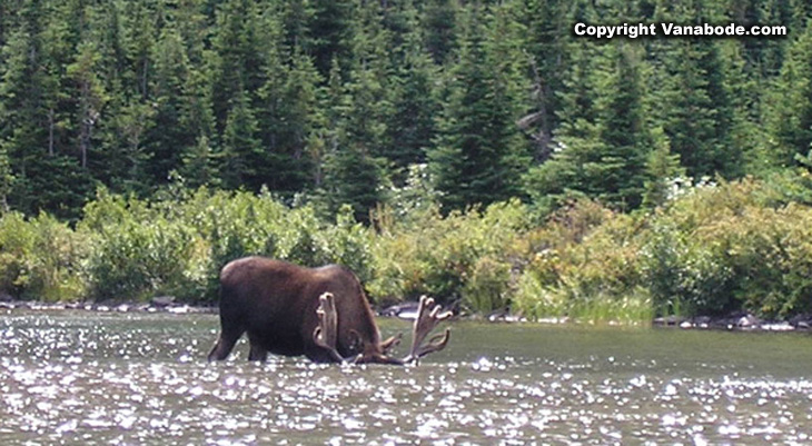 Picture of moose grazing in Glacier National Park