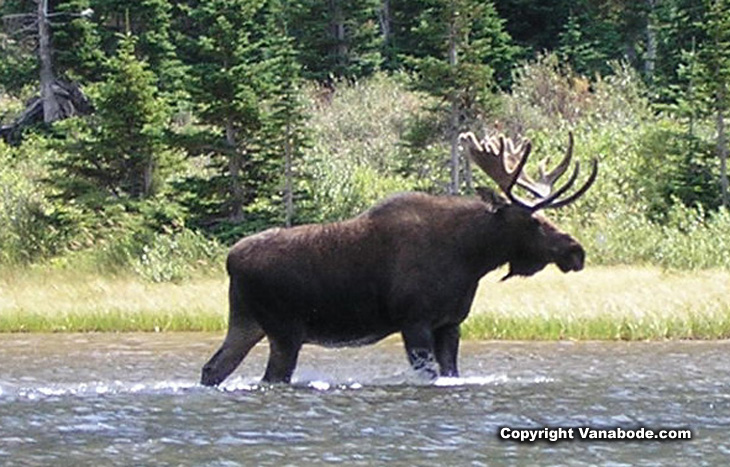 Picture of bull moose Bullhead Lake at Many Glacier