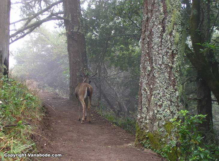 deer in muir woods picture