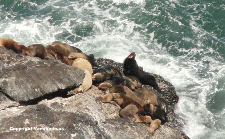 sea lions oregon coast picture