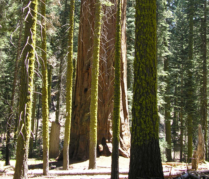 picture of pines in sequoia national park