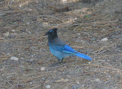 stellar blue jay picture
