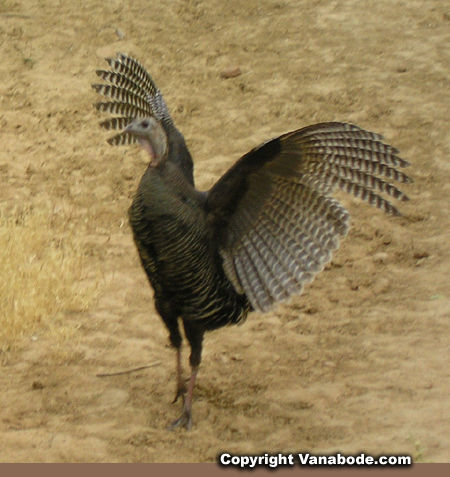 zion turkey on beach trail picture